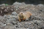 priaridog lying down in the mud
