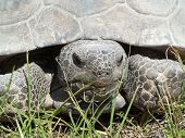 foto of gopher  - a close up of florida gopher turtle - JPG