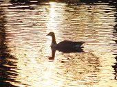 Pato & pôr do sol