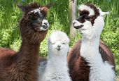 Three different alpacas