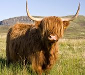 pic of highland-cattle  - Scottish highland cow on the Isle of Skye - JPG