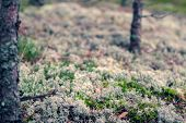 Beautiful Textured Moss With Grass In The Coniferous Forest. The Moss Is Light, The Grass Is Green.  poster