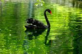 Black Swan In The Pond