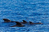 Group of resting pilot whales