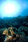 Sun over Soft Coral in Lembeh Straits
