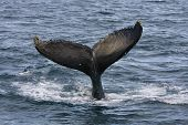 picture of cetacea  - Humpback jubarte Whale of abrolhos islands in bahia state brazil - JPG