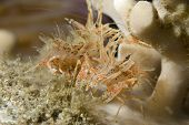 Pair of Tiger Shrimp in Lembeh Straits