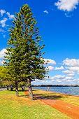 Parana Pine Tree, Araucaria Angustifolia - Araucariaceae.hdr Image