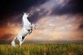 A grey arabian horse rearing
