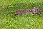 picture of gruesome  - picture of the Eating cheetah on green background - JPG