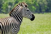 Adult Zebra Profile
