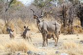 Greater kudu bull with calves