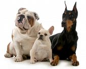 three different breeds of dogs isolated on white background - french bulldog, english bulldog and do