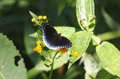 Purple butterfly Popinjay Stibochiona nicea