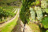 Uvas brancas de vinhos Riesling alemão vinha no Outono