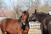 Brown Horse Laughing About Black Horse