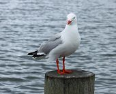 Red Billed Sea Gull