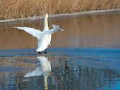 Swan flapping its wings on ice