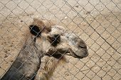 Camel in the cage