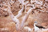Blue footed booby resting under the tree at Galapagos island of  North Seymour