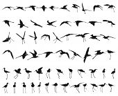 Sixty Black-winged Stilts flying and standing black silhouettes