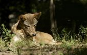 foto of wolf-dog  - Red Wolf in the Sun - JPG