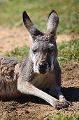 kangaroo  rests