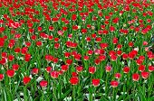 Many red tulips on flower bed