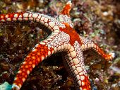 Colorful Seastar