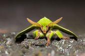 Green Trabala Pallida Moth