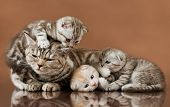 stock photo of scottish-fold  - family group of four fluffy beautiful kitten with mother breed scottish - JPG