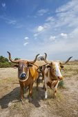 stock photo of ox wagon  - Plastic oxen pulling covered wagon at Scott - JPG