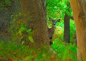 Whitetail Deer Spike Buck