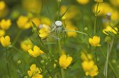 stock photo of cowslip  - Dandelion among cowslip marsh - JPG