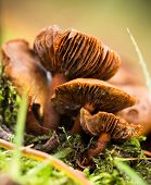 Webcap fungus - Cortinarius sp Three Old specimens
