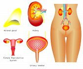stock photo of cervix  - Urinary system - JPG