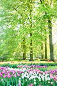 Tulip Flowerbeds In A Spring Garden