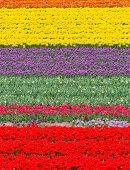 Field With Colorful Tulips At Springtime