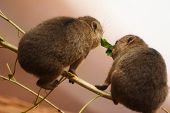 Two Baby Rock Hyraxes