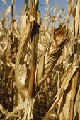 foto of zea  - Spring Corn growing for food and Ethanol Production - JPG