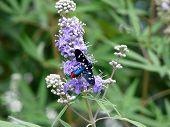 Polka-dot Wasp Moth (syntomeida Epilais)