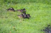 Young Wood Ducks.