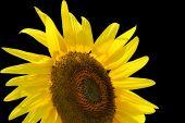 Sunflower, Isolated On Black.