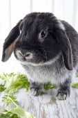 Black Lop Bunny Rabbit On White Wooden Studio Background