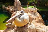 Pelicans. Three big white pelicans sit on stones