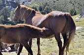image of colt  - Two brown horses  - JPG