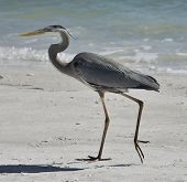 Great Blue Heron Walking On Florida Beach