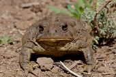 Toad Face Off