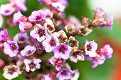 Mauve flowers origanum in the garden