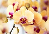 Beautiful Yellow Orchid